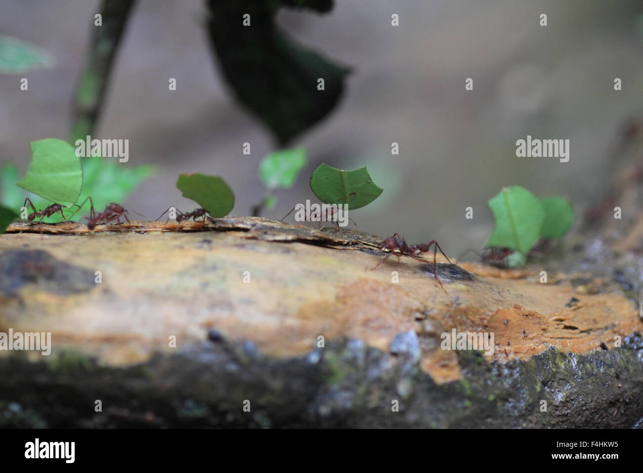 Blattschneiderameisen (Atta Sexdens). Tier, wildes Leben. Stockbild