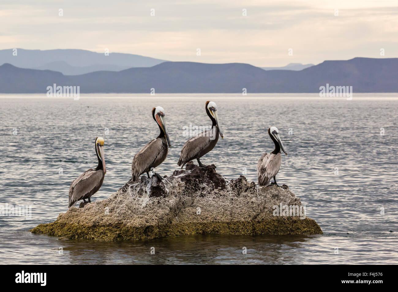 Erwachsenen braune Pelikane (Pelecanus Occidentalis), Isla Ildefonso, Baja California Sur, Mexiko, Nordamerika Stockfoto
