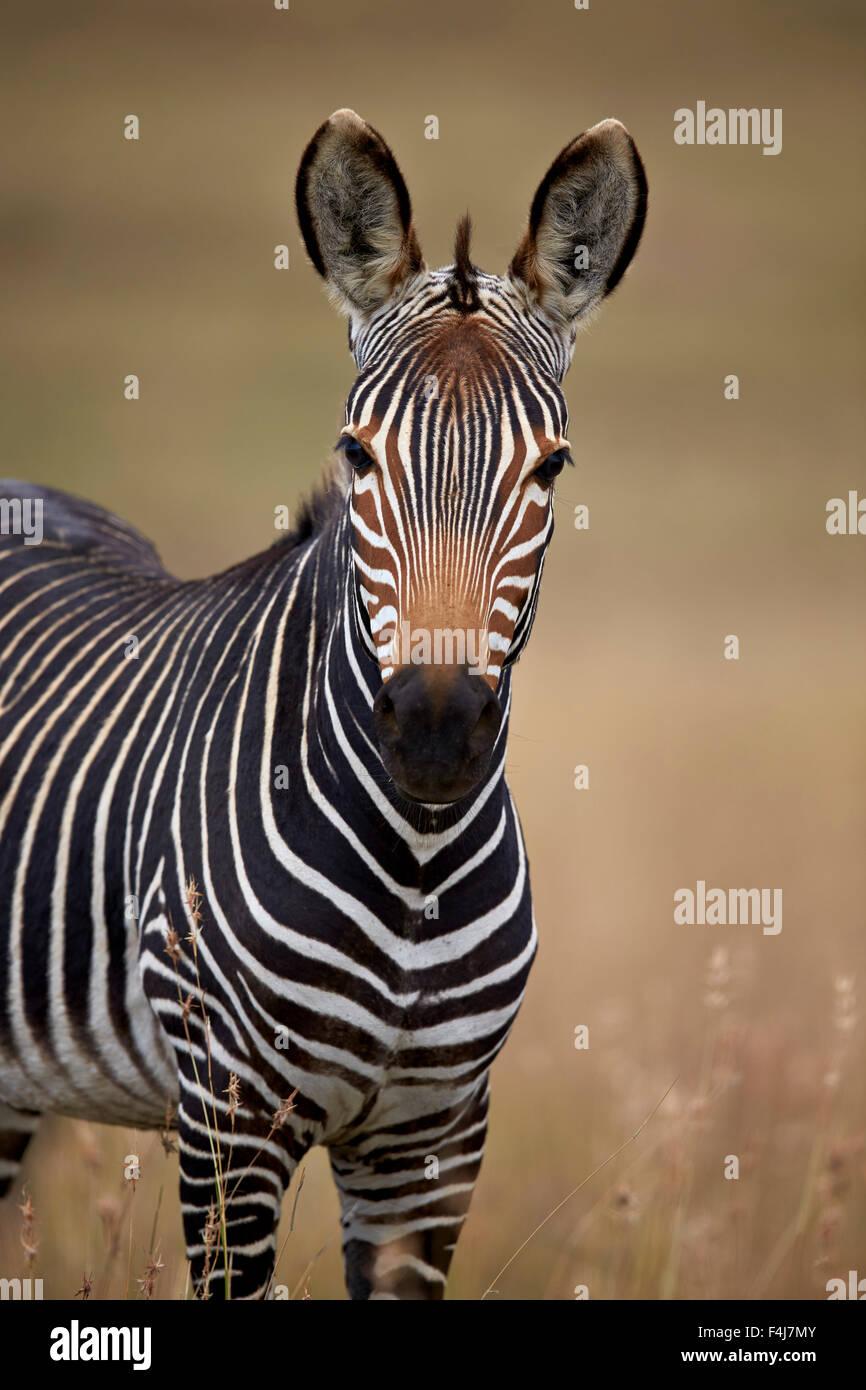 Kap-Bergzebra (Equus Zebra Zebra), Mountain Zebra National Park, Südafrika, Afrika Stockfoto
