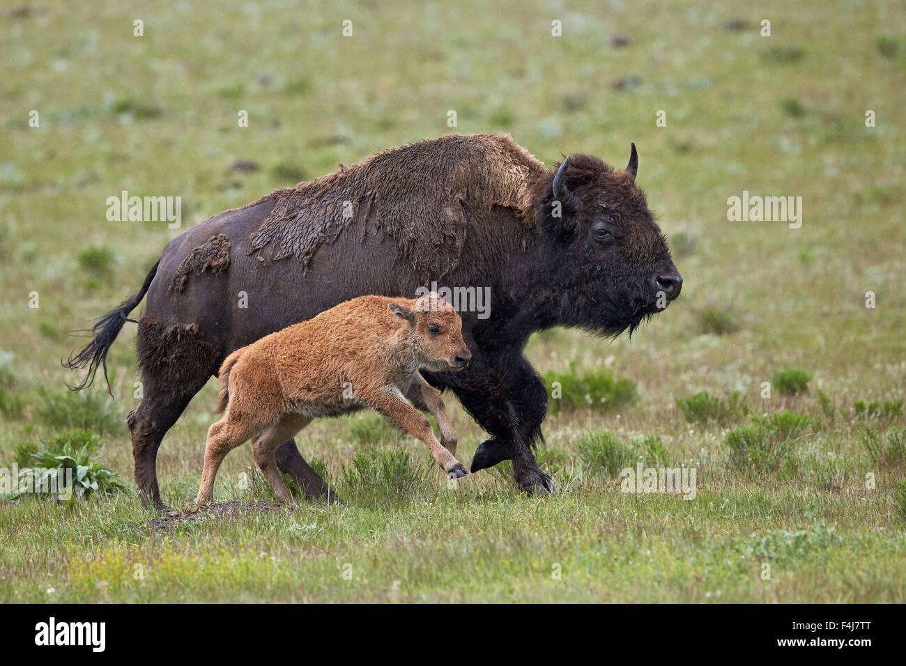 Bisons (Bison Bison) Kuh und Kalb laufen im Regen, Yellowstone-Nationalpark, b3e9daf853