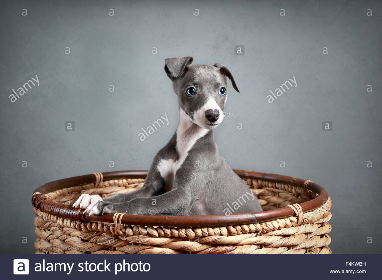 grau blau whippet welpen peering heraus ber wicker basket. Black Bedroom Furniture Sets. Home Design Ideas