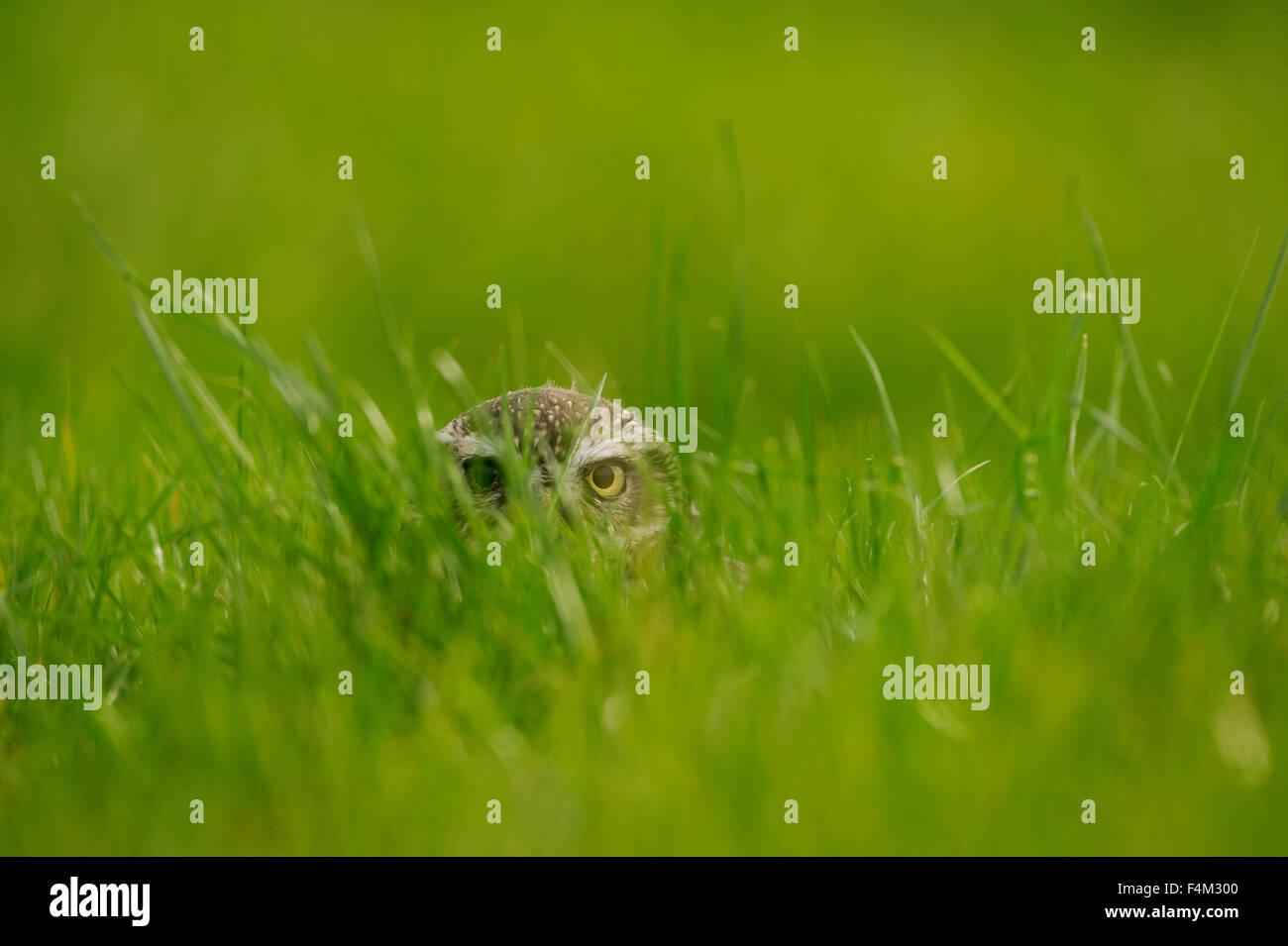 Steinkauz (Athene Noctua) spähen durch Rasen Stockbild
