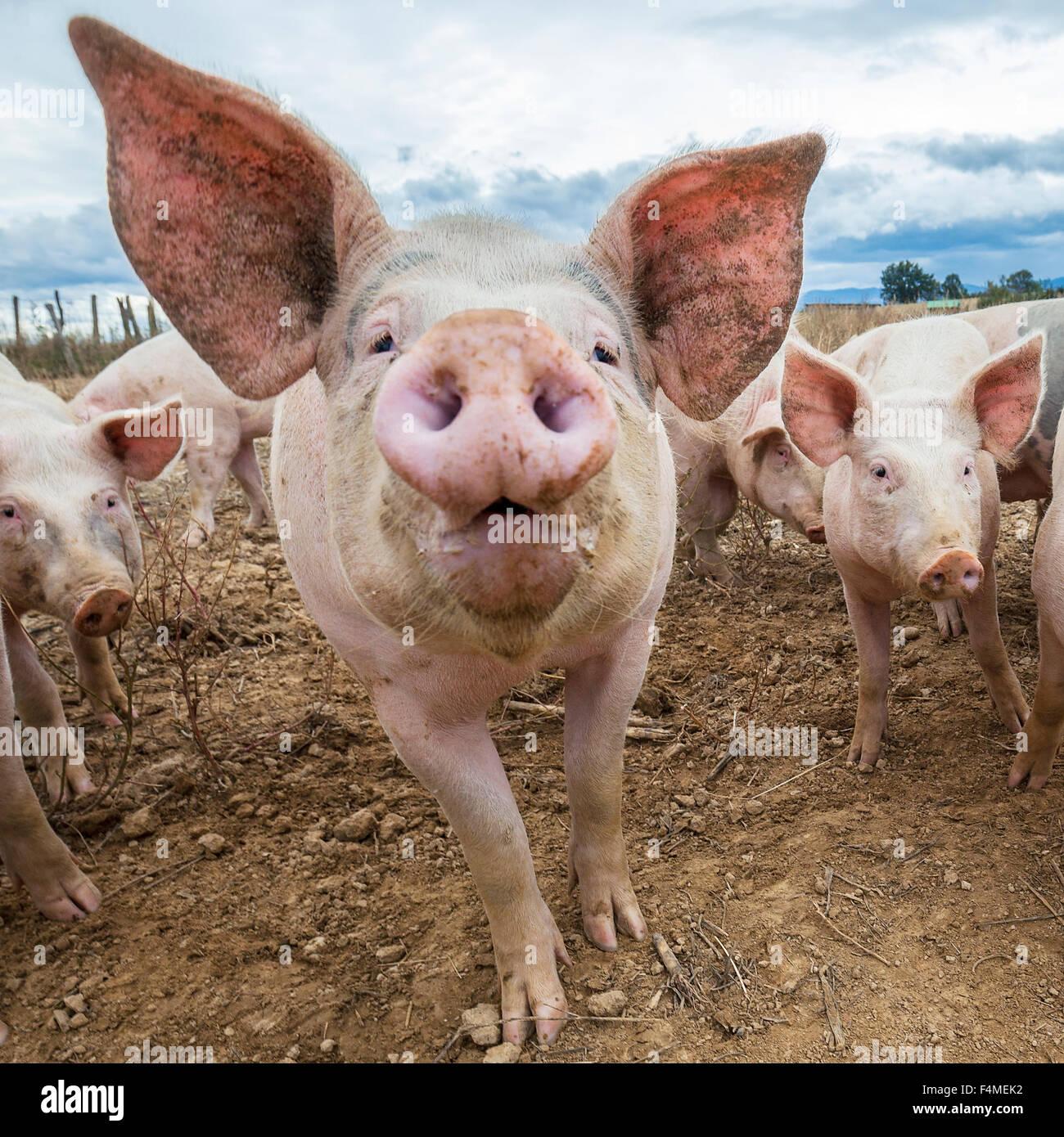 Schöne Schweine im Freien im Herbst Stockbild