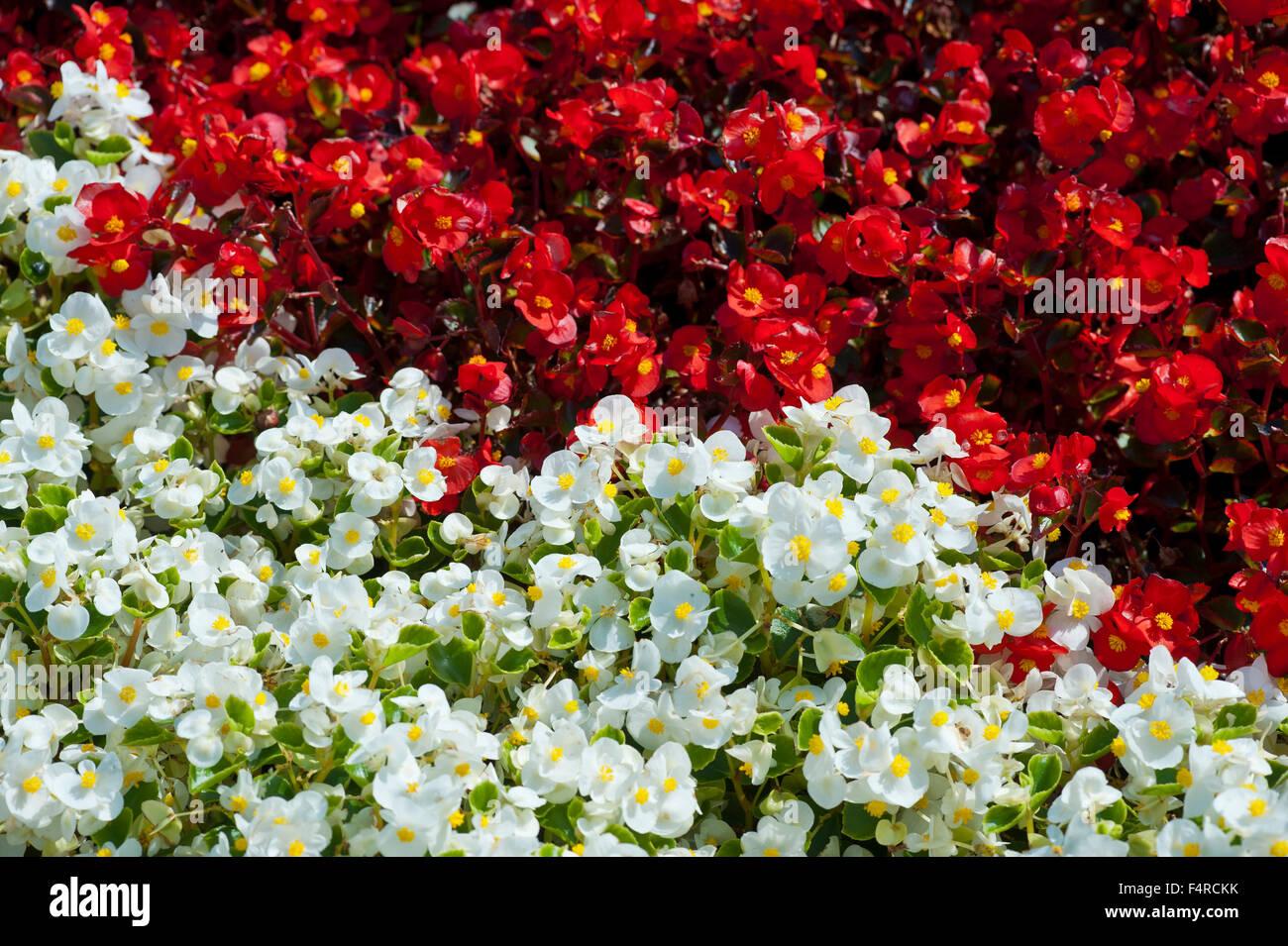 Lutry Vaud Schweiz Blumen Rot Weiss Begonie Stockfoto Bild