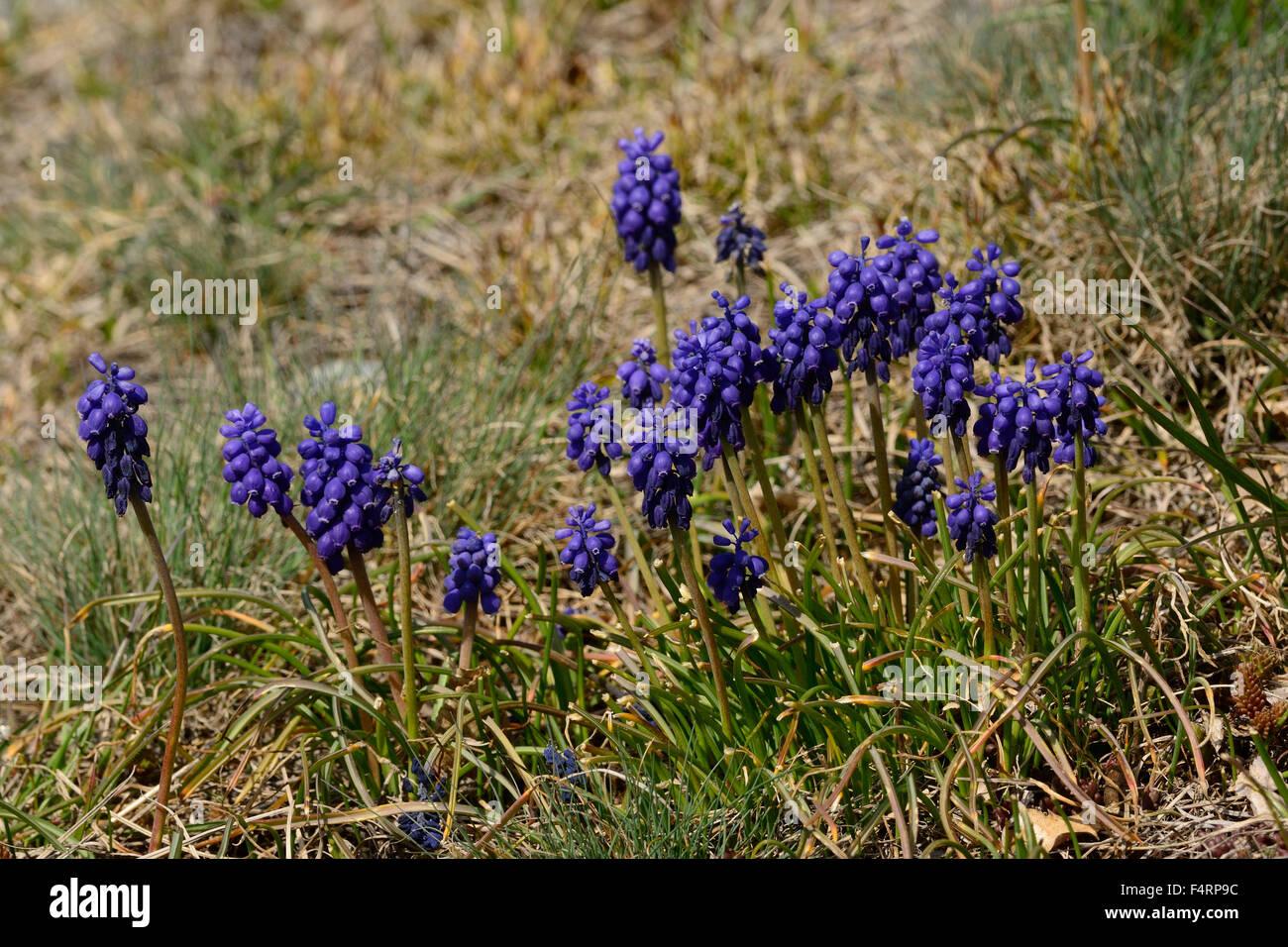 Traube Hyazinth, Muscare Racemosum, Asparagaceae, Blume, Blüten, Pflanzen, Leuk, Kanton Wallis, Schweiz Stockbild