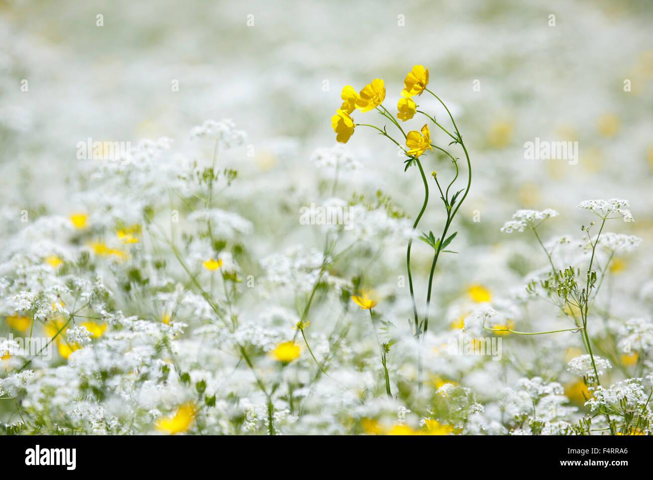 Blume, Blumen, Blumenwiese, reiche Farbgebung, Flora, Frühling, Crowfoot, Hintergrund, Kerbel, dünne Wiese, Stockbild