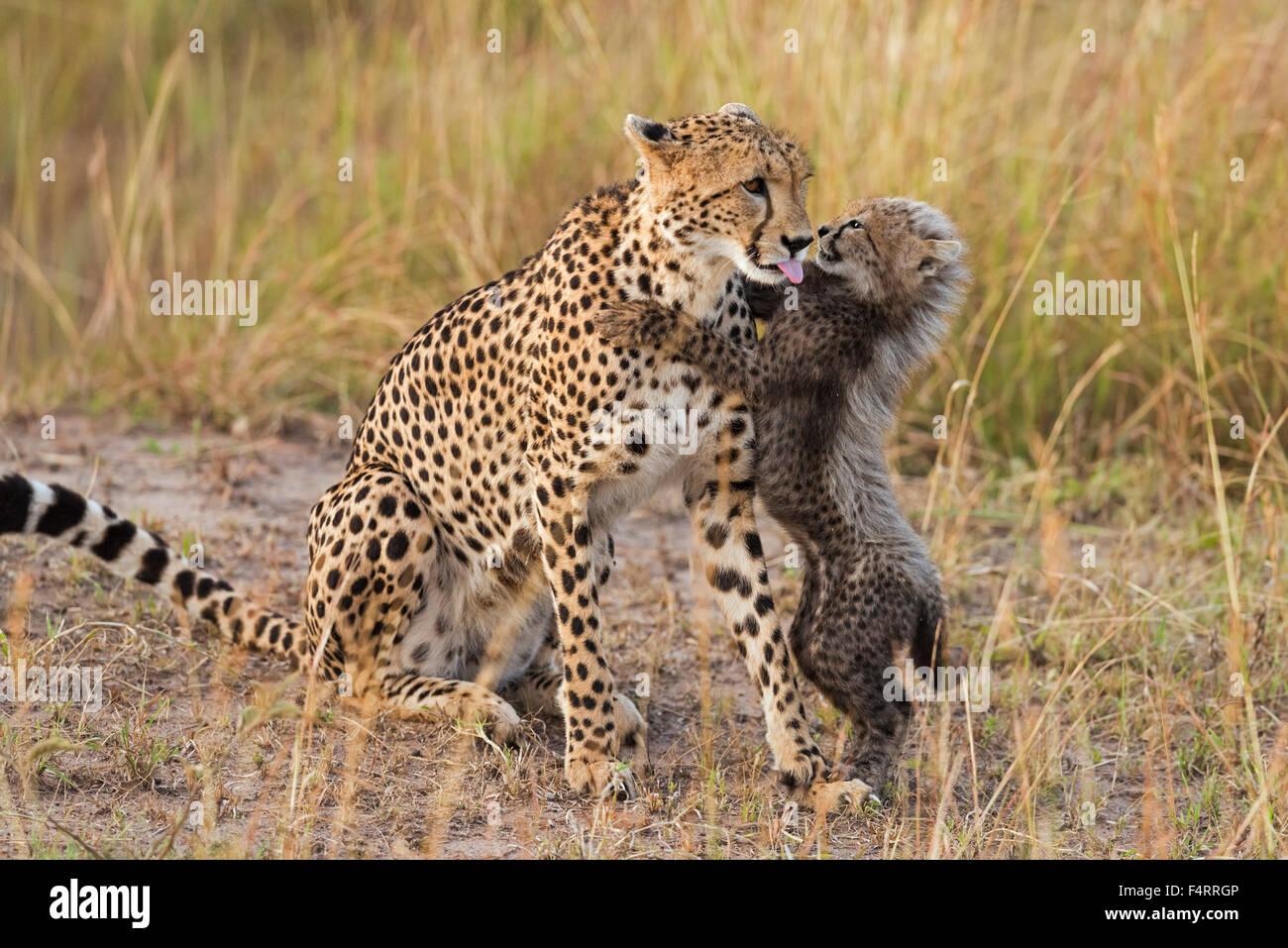 Geparden (Acinonyx Jubatus), sechs Wochen altes Baby Gepard Jungtier spielt mit seiner Mutter, Masai Mara National Stockfoto