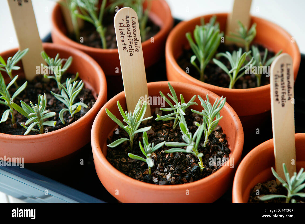 Vermehrung Von Lavendel Lavandula Angustifolia Hidcote Tablett