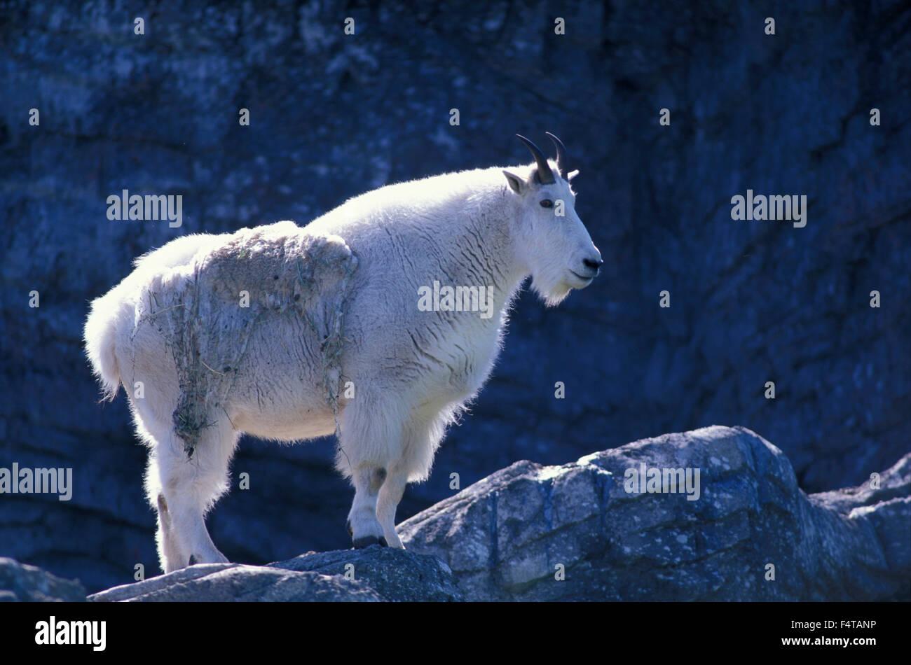 Bergziege (Oreamnos Americanus) Zoo Calgary, Calgary, Alberta, Kanada Stockfoto