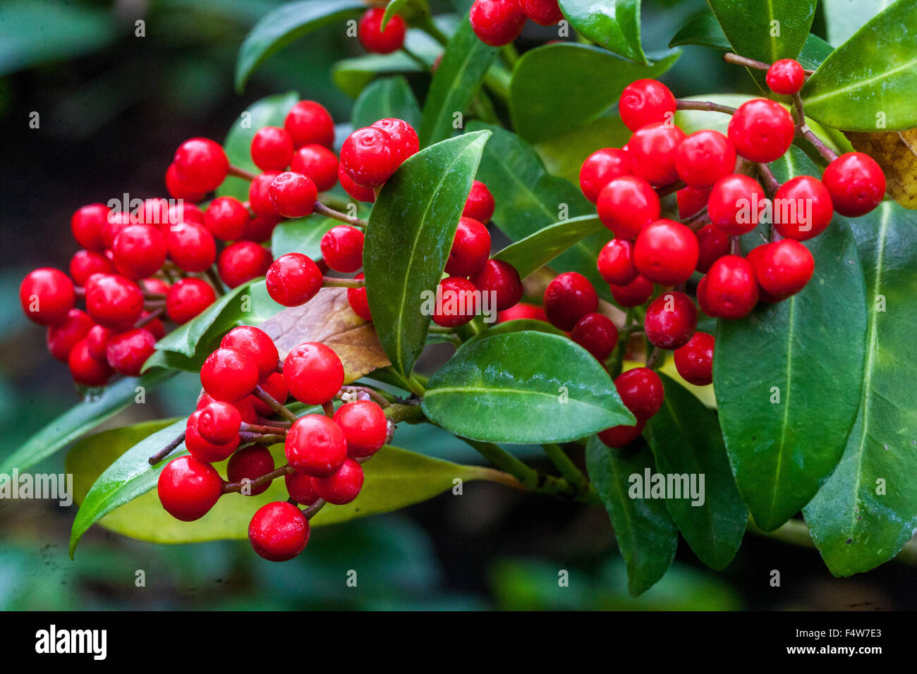 skimmia japonica strauch mit roten beeren herbstfarben stockfoto bild 89065147 alamy. Black Bedroom Furniture Sets. Home Design Ideas