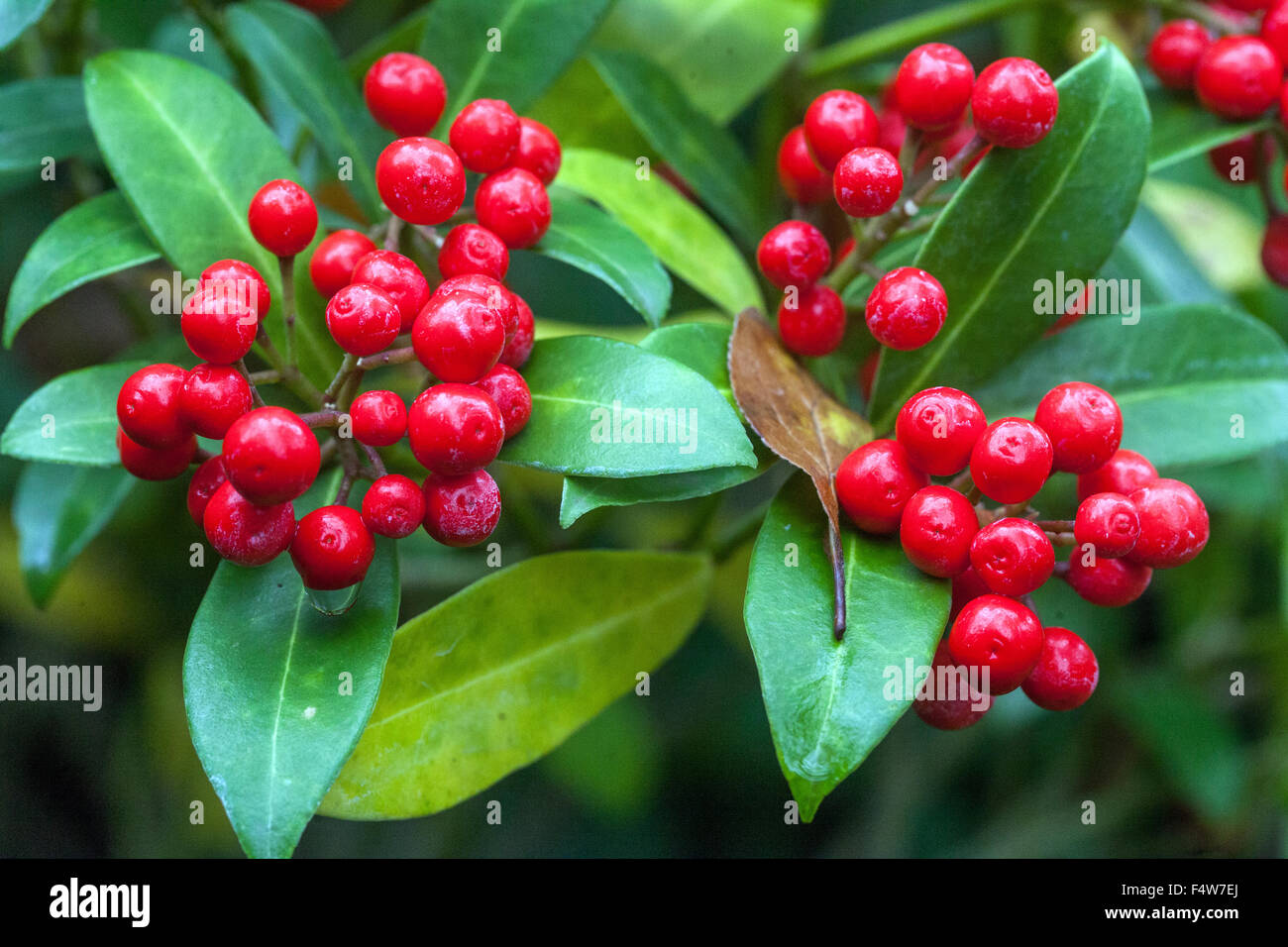 skimmia japonica flowers stockfotos skimmia japonica flowers bilder alamy. Black Bedroom Furniture Sets. Home Design Ideas