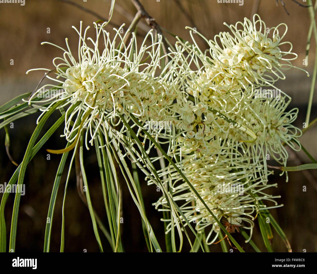 Großen cremigen weißen Blüten und langen grünen Blätter der ...