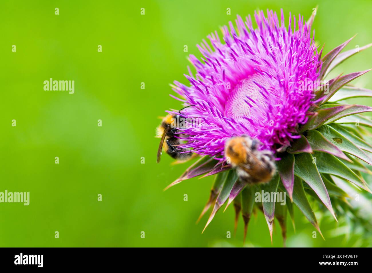 schön Schönheit Bienenbiologie blühen Nahaufnahme Closeup sammeln Farbe bunte Feld Flora Blumen Blume Stockbild