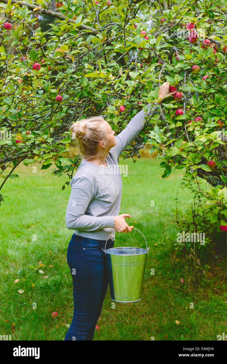 Finnland, Uusimaa, Sipoo, Frau pflücken Äpfel vom Baum Stockbild