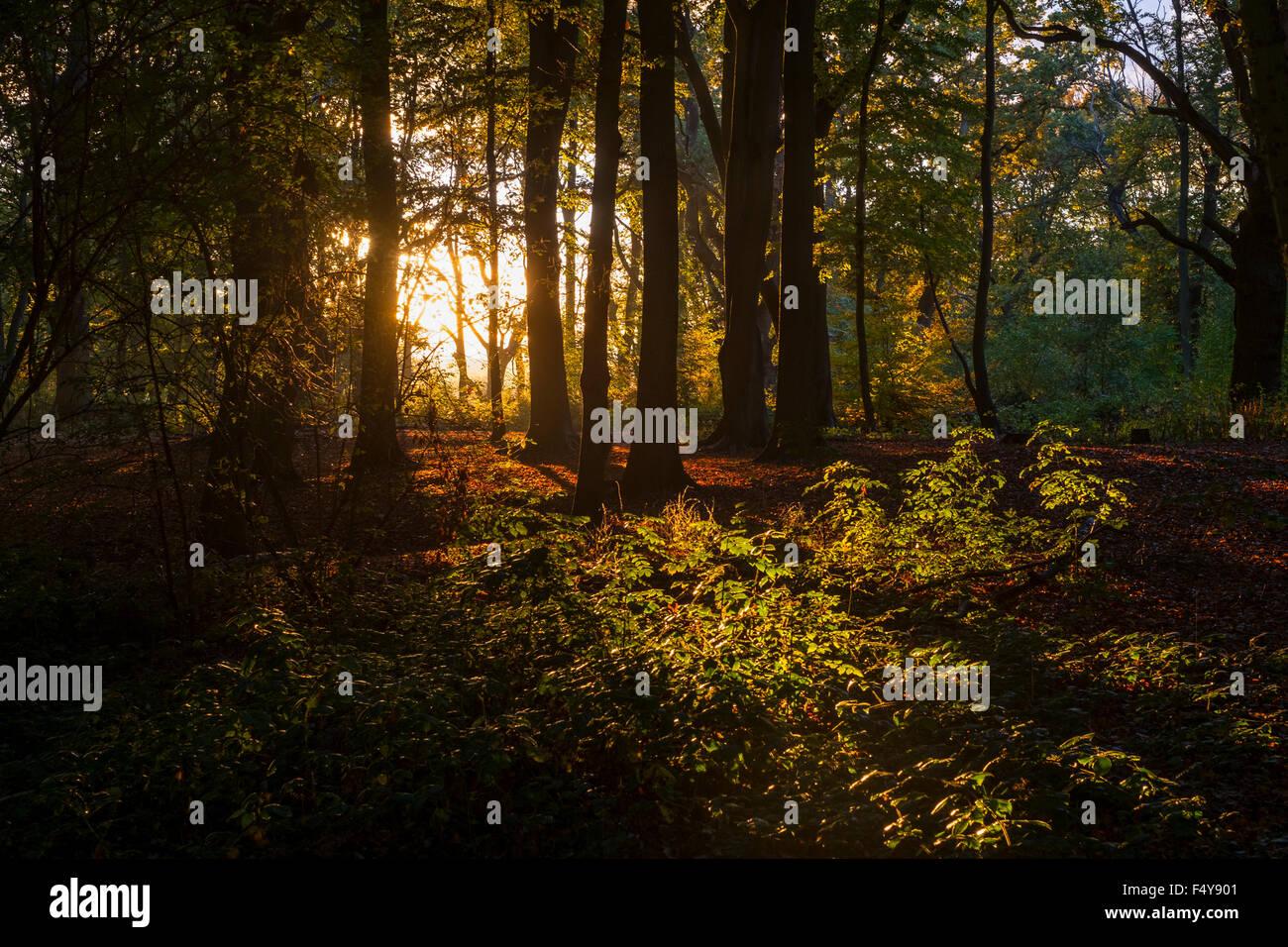 Ein Goldener Sonnenuntergang auf Englisch Woodland in Hanbury, Worcestershire. Stockbild