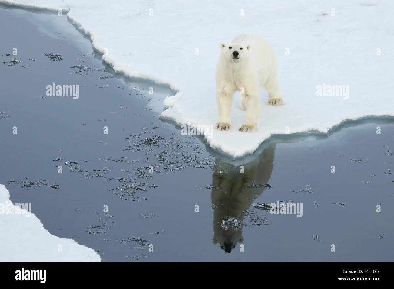 Grönland, Scoresby Sound, Eisbär steht am Rande des Meereises, blickte mit Spiegelbild im Wasser. Stockbild