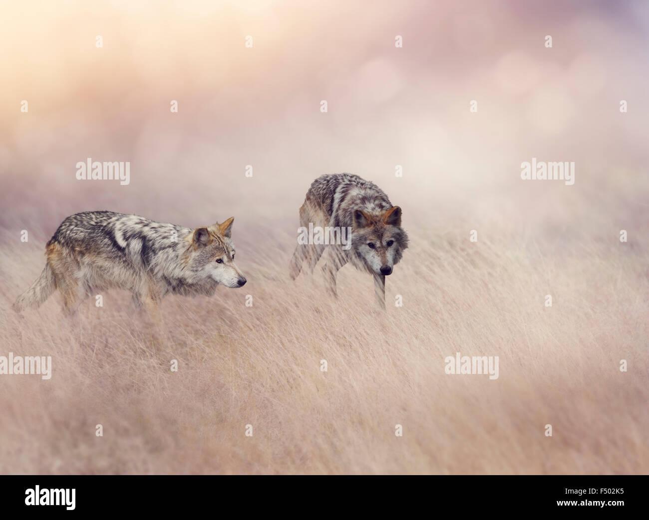Zwei Wölfe Stalking durch hohe Gräser Stockbild
