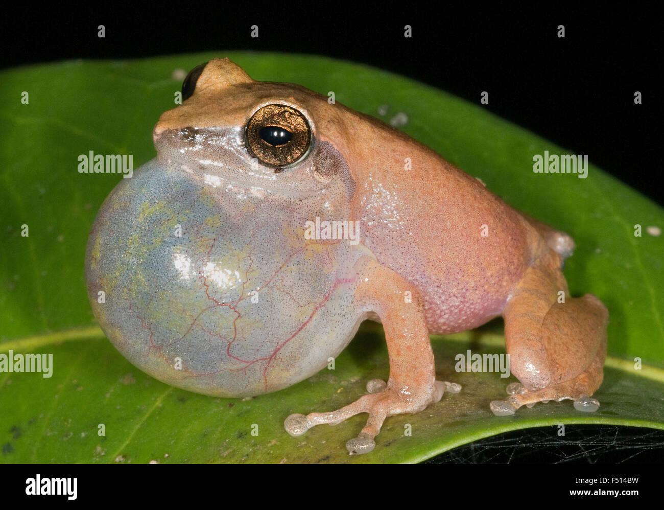 Das Bild der Bush-Frosch (Raorchestes Bombayensis) aufgenommen in Amboli Ghta, Maharashtra, Indien Stockbild