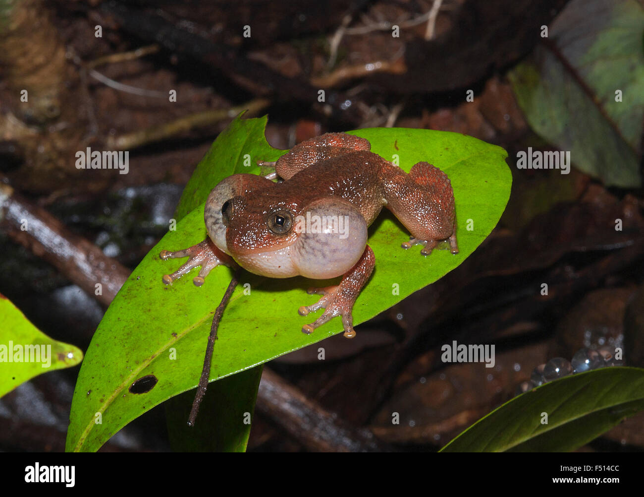 Das Bild der runzlig Frosch (Nyctibatrachus Petraeus) aufgenommen in Amboli Ghta, Maharashtra, Indien Stockbild