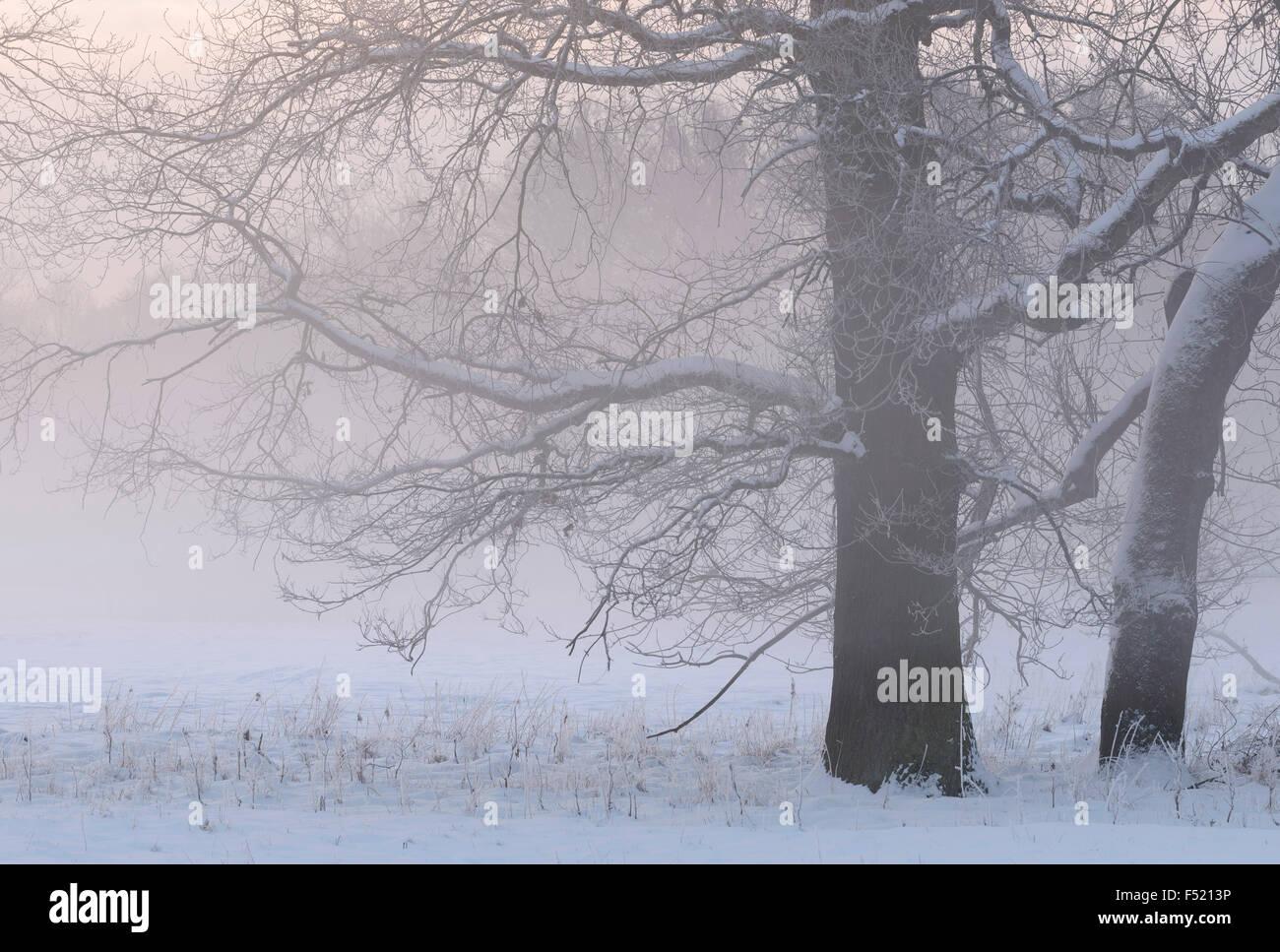 Deutschland, Nordrhein-Westfalen, Wahner Heide, Aggeraue, Schneebedeckte Bäume Im Morgennebel, Stockbild