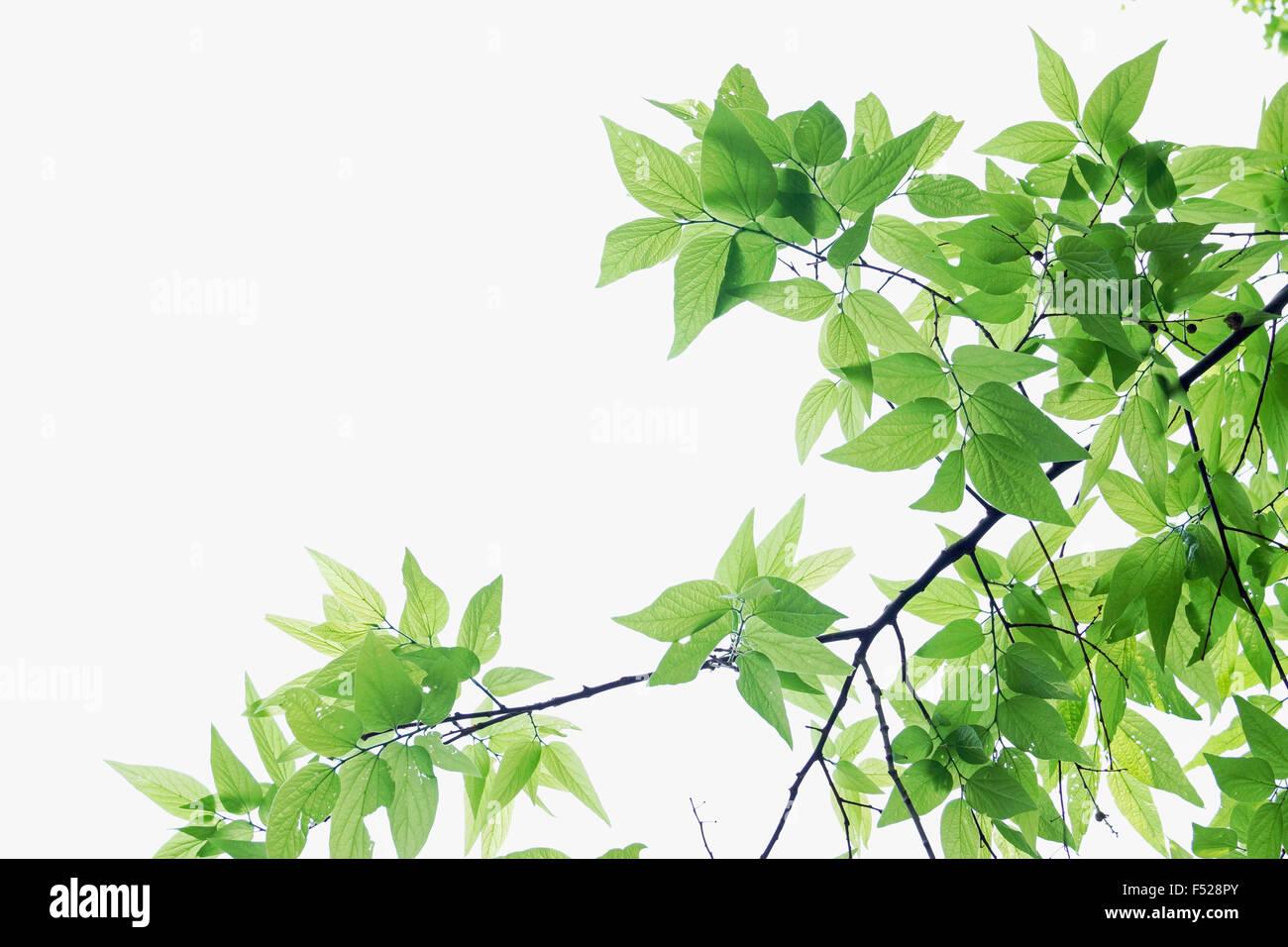Lebendige grüne Blätter auf einem weißen Himmelshintergrund Stockfoto