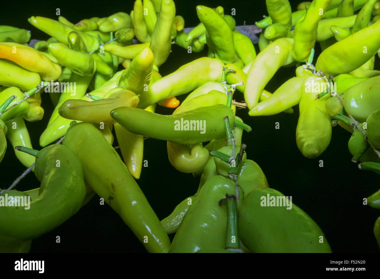 Anaheim Paprika sind vielfältige milde Chilischote verwendet in ...