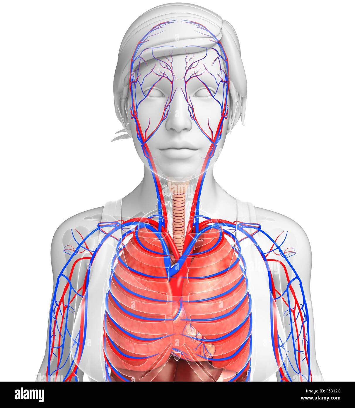 Berühmt Herz Kreislauf System Blutfluss Ideen - Menschliche Anatomie ...