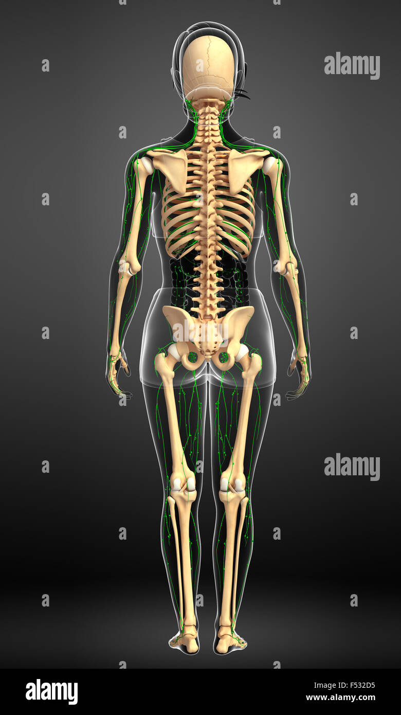 Lymphatic System Stockfotos & Lymphatic System Bilder - Alamy