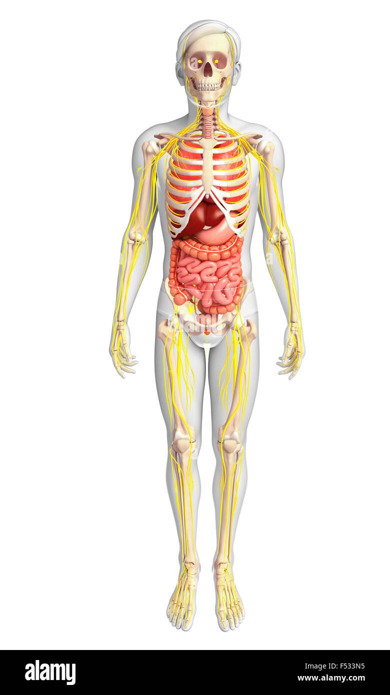 Tolle Verdauungssystem Wichtige Organe Fotos - Anatomie Ideen ...
