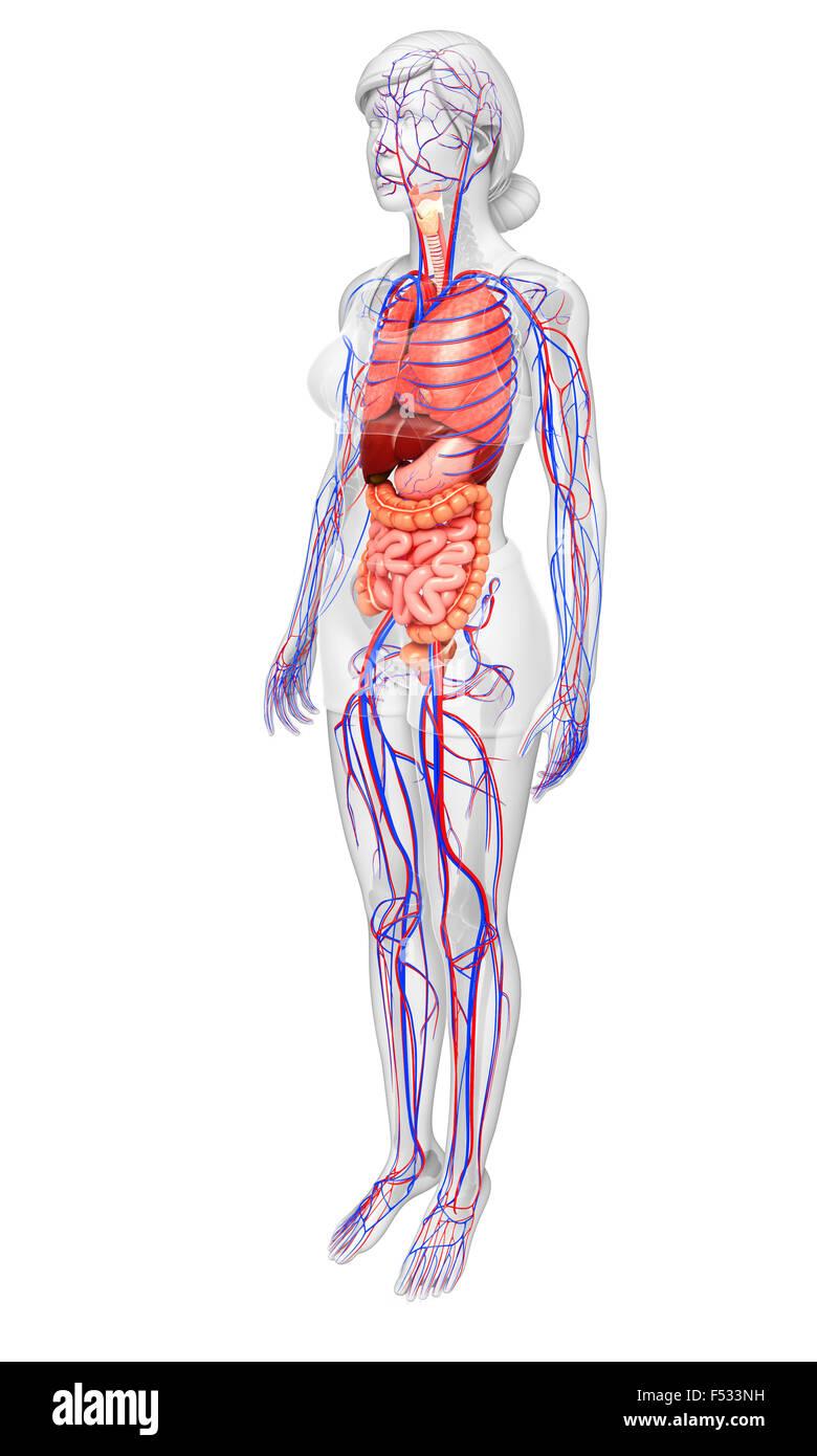 Ziemlich Bild Der Inneren Organe Des Weiblichen Menschlichen Körpers ...