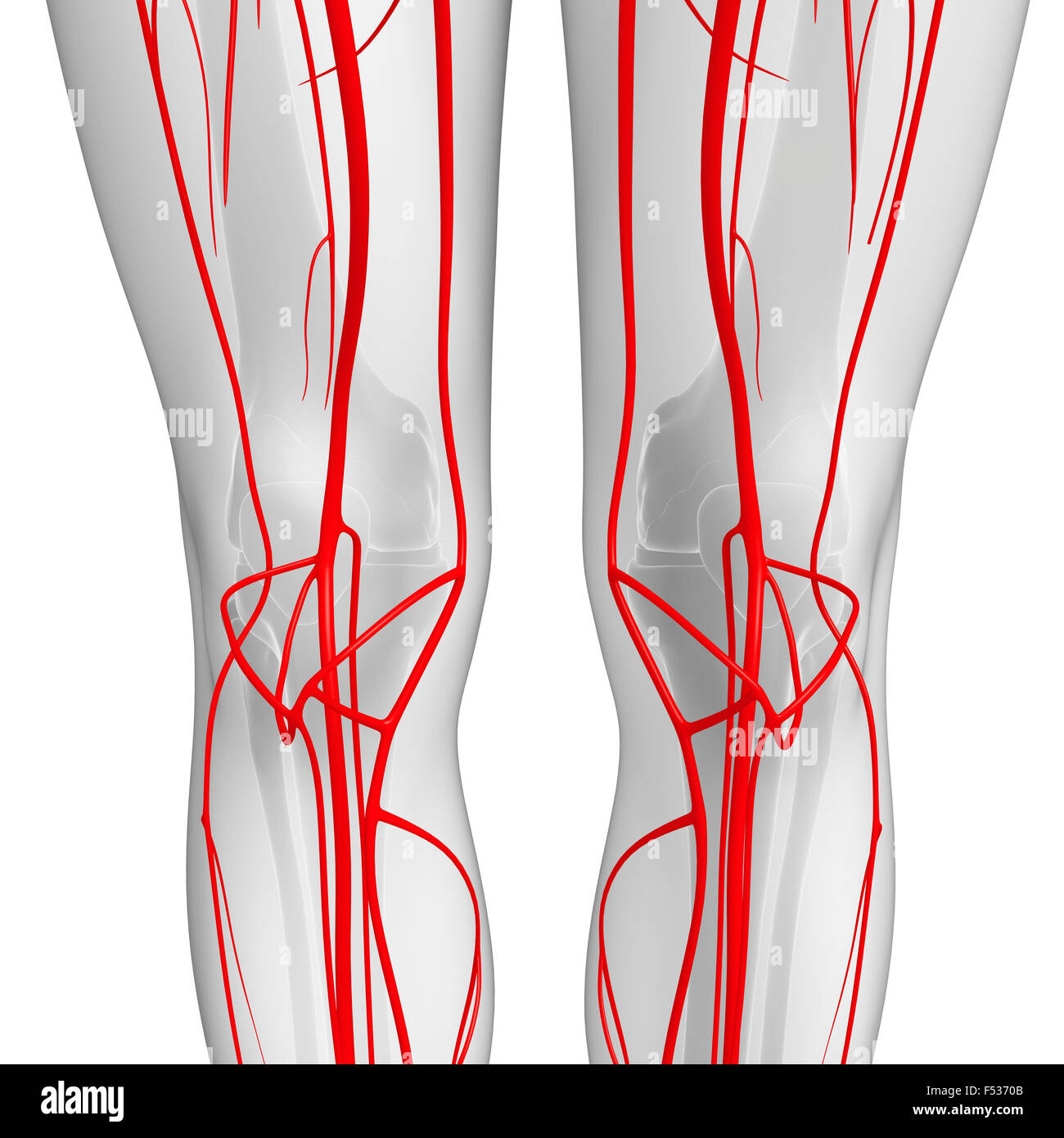 Beste Anatomie Des Arteriellen Systems Bilder - Anatomie Ideen ...