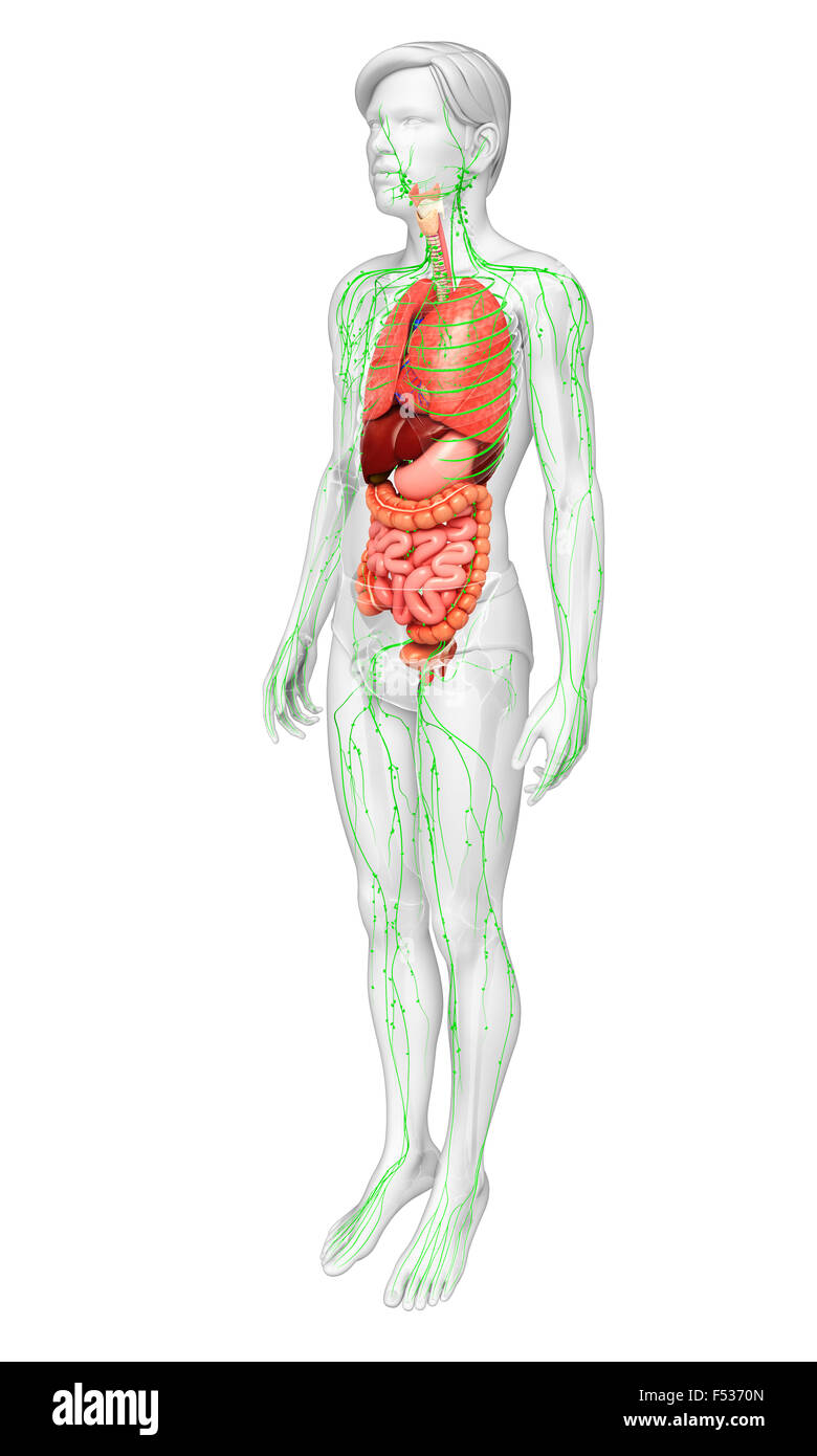 Ungewöhnlich Menschliche Verdauungssystem Gekennzeichnet Fotos ...