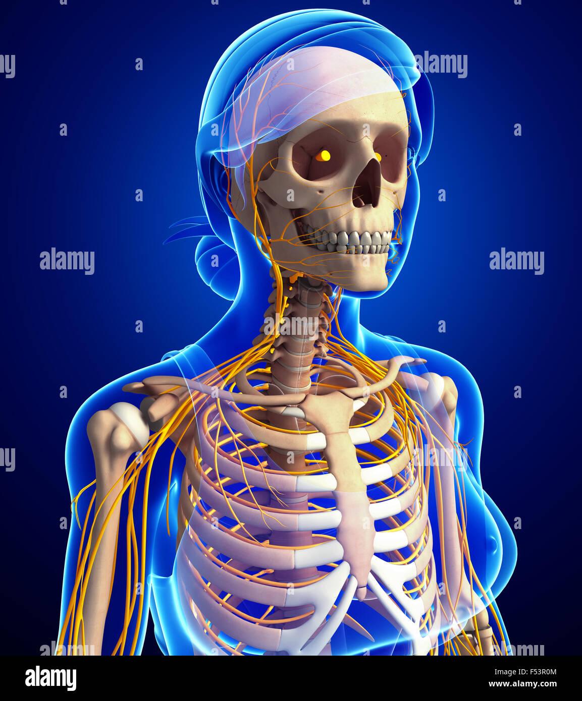 Darstellung der weiblichen Brustkorb mit Nervensystem Stockfoto ...