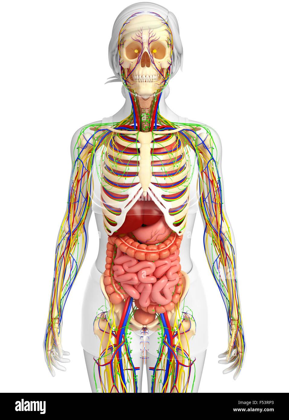 Ziemlich Männliche Und Weibliche Anatomie Fortpflanzungssystem ...