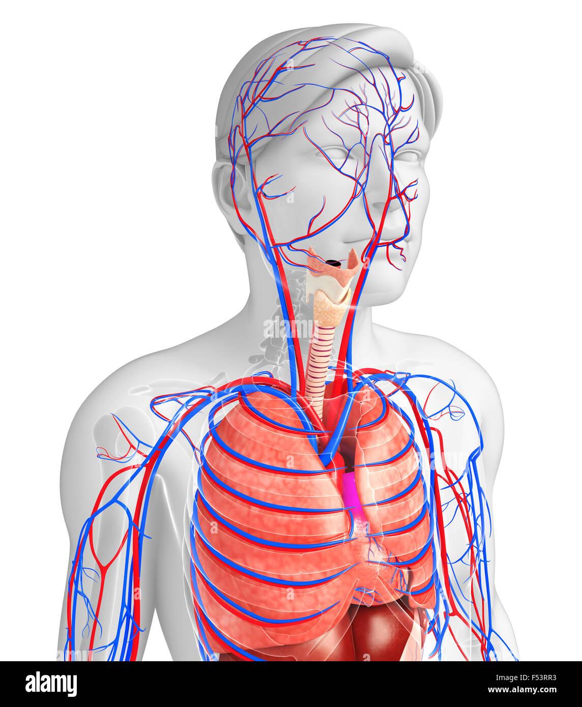 Ungewöhnlich Herz Kreislauf System Anatomie Und Physiologie Pdf ...