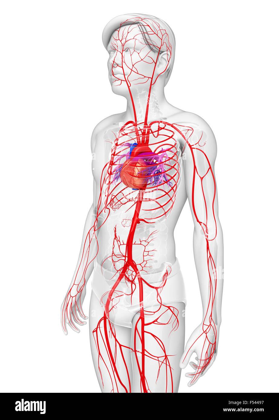 Berühmt Bauch Arterielle Anatomie Bilder - Menschliche Anatomie ...