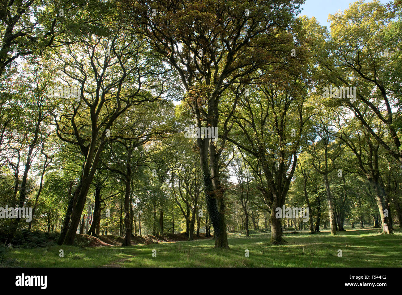 Eiche und Buche Bäume im Herbst Farbe in den Resten des Blackbury Camp und Eisenzeit Burgberg in das 4. Jahrhundert Stockbild