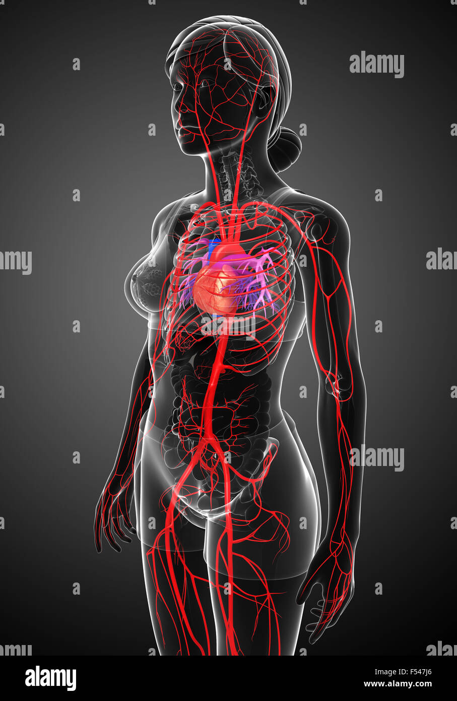 Beste Anatomie Des Arteriellen Systems Zeitgenössisch - Anatomie Von ...