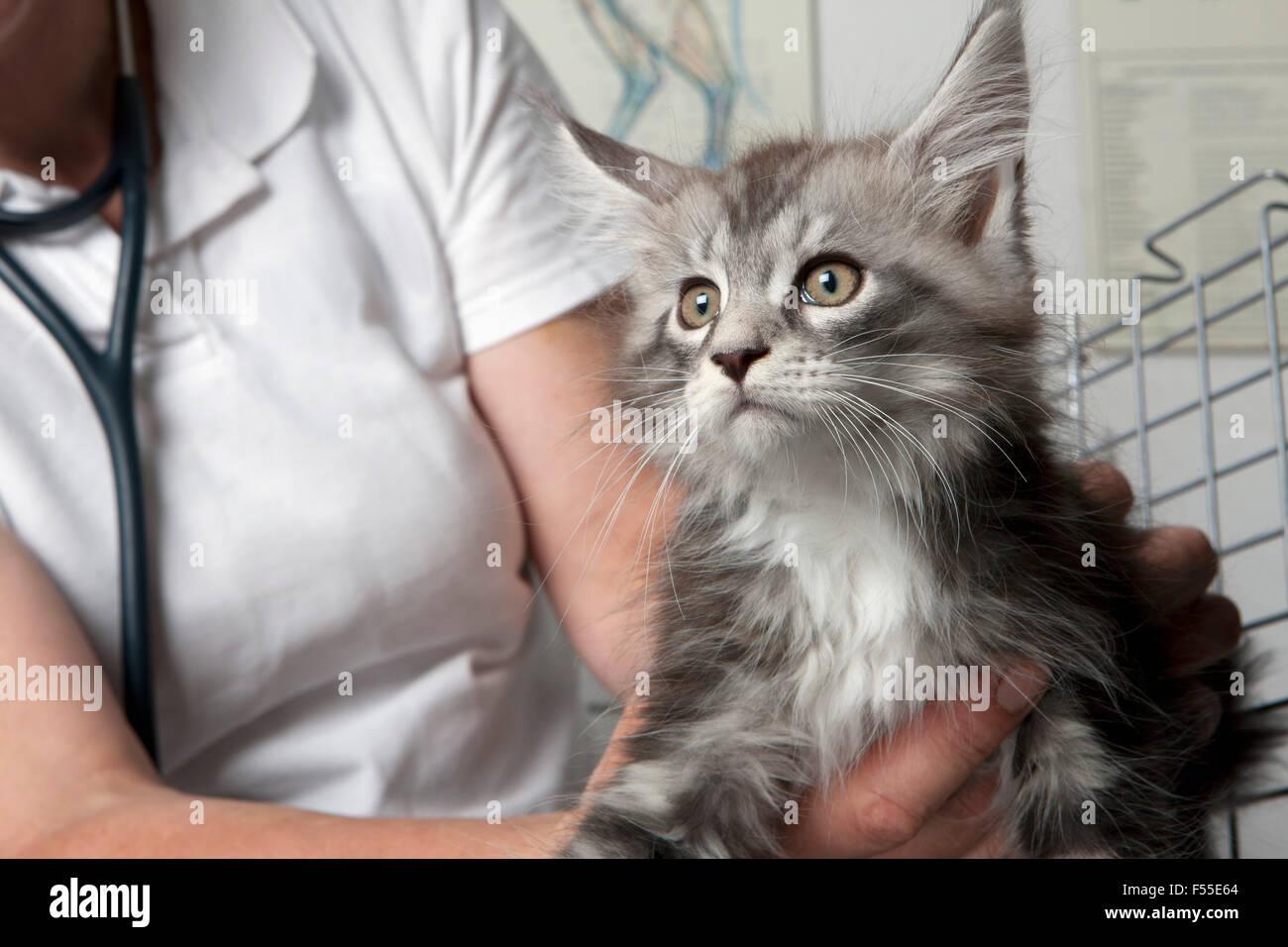 Mittelteil der Tierarzt Holding Katze in Klinik Stockbild