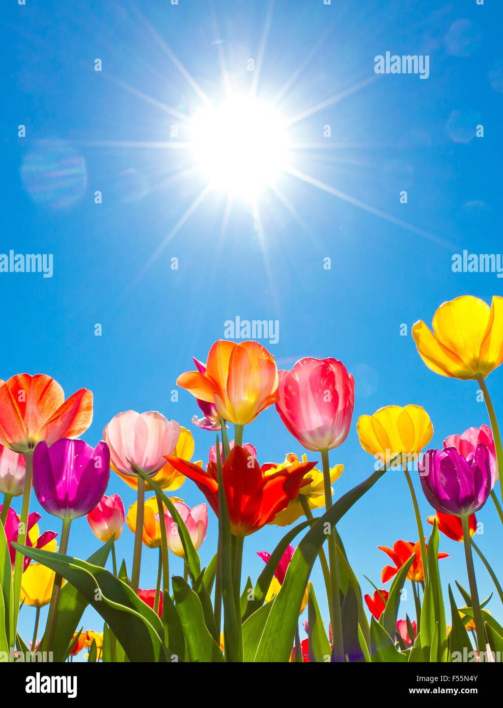 Bunte Tulpen in der Sonne Stockbild
