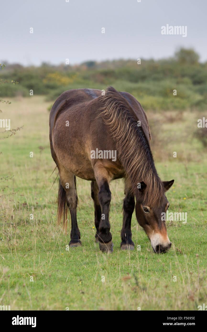 Exmoor Pony; Einzelne Weiden Greenham Common; Berkshire; UK Stockbild