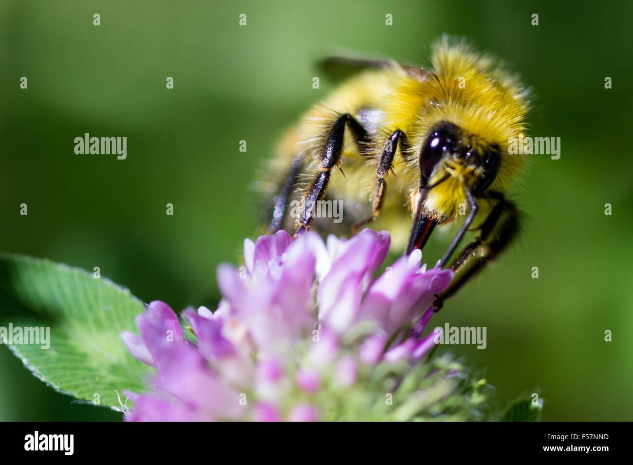 Makro einer Biene Fütterung auf eine Blume, die Bestäubung von Pflanzen im Frühling Stockbild