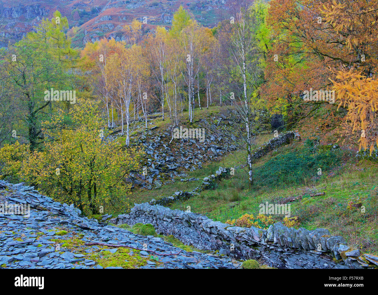 Silber-Birken wachsen aus alten Schiefer Steinbruch verderben Haufen, Langdale Valley, Lake District National Park, Stockbild