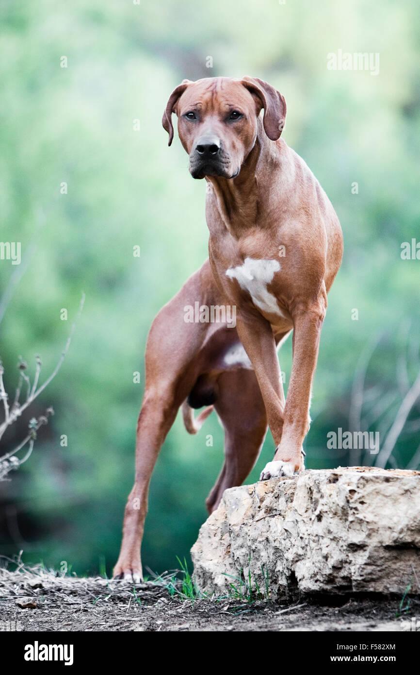 Kühn und mächtig Porträt des Erwachsenen Rhodesian Ridgeback Rüden gerichtete Kamera mit Vorderpfoten Stockbild