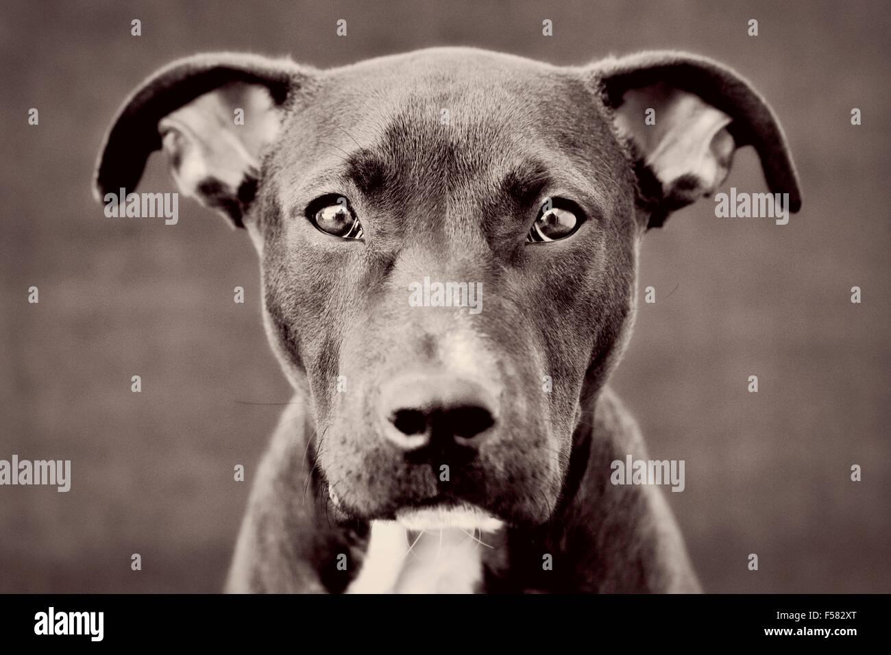 Fesselnden schwarz-weiß getönt Kopfschuss Porträt des jungen schwarzen Pitbull Welpe Hund direkt Stockbild
