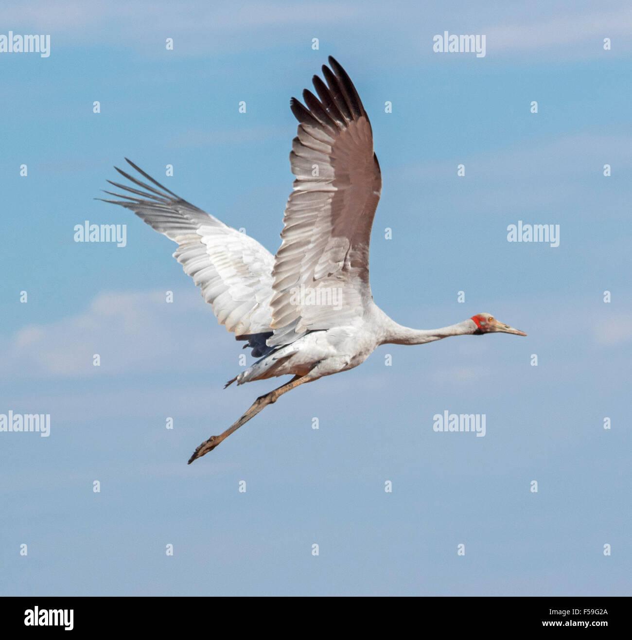 Brolga, australischer Kranich, Grus Rubicunda, große elegante graue Vogel im Flug gegen blauen Himmel im Outback Stockbild