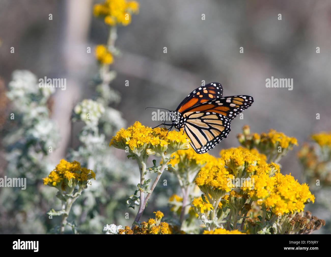 Monarchfalter auf gelbe Blume Stockbild
