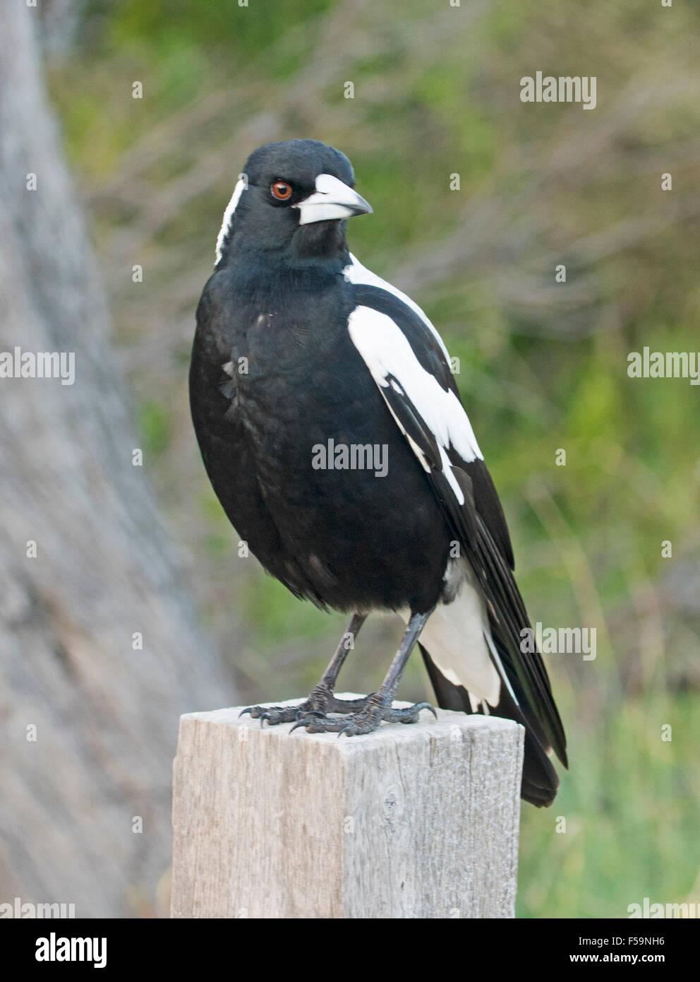 Australische Magpie, schwarzen und weißen Vogel, mit Augen aufblitzen, stehend auf Post in einem Vorort Garten Stockbild