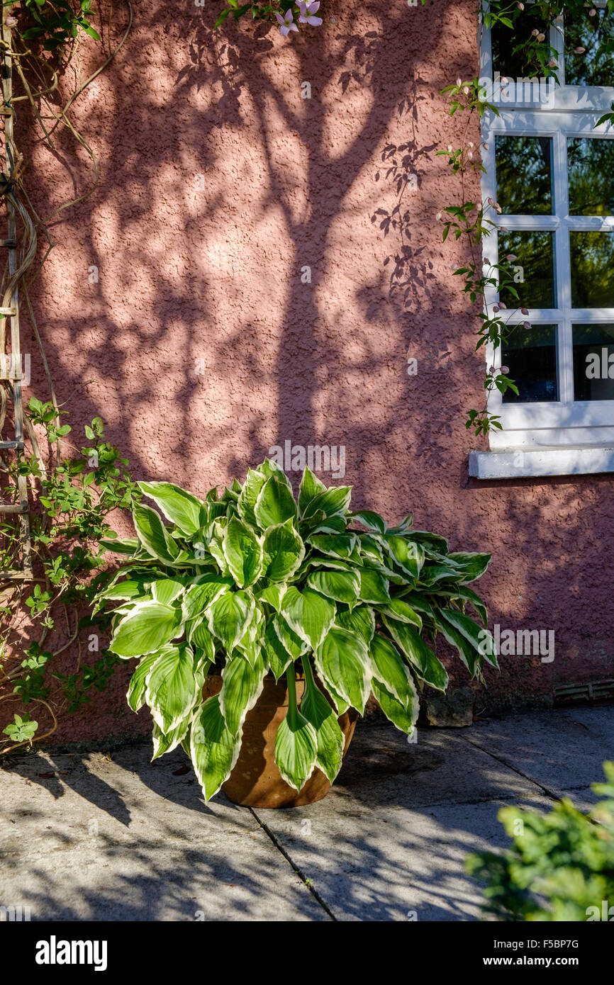 Grosse Hosta Pflanze Im Topf Auf Terrasse Vor Rosa Hutte Wand Und