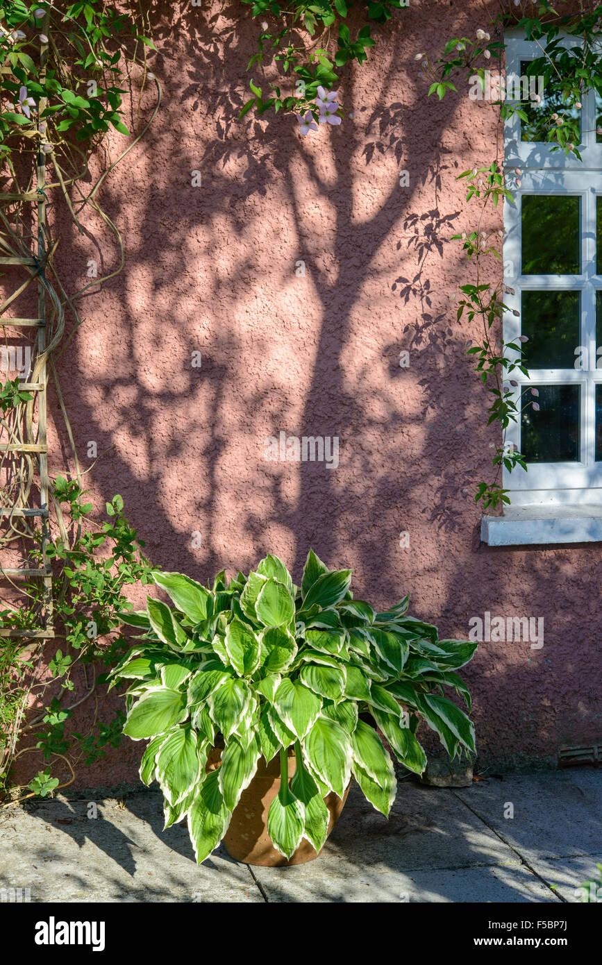 Große Hosta Pflanze Im Topf Auf Terrasse Vor Rosa Hütte Wand Und